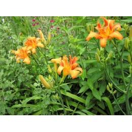 Лілійник Махровый оранжевый